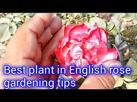 Best plant in English rose / gardening tips