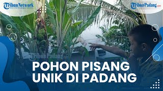 Pohon Pisang Unik di Kota Padang, Terdapat Buah di Dalam Batang hingga Disebut Mirip Sedang 'Hamil'