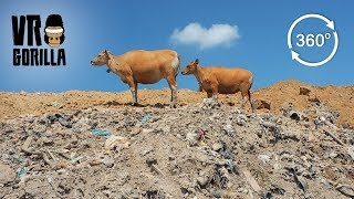 Cows Grazing On Massive Bali Landfill (360 VR Video)