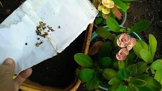 Como Germinar,sembrar Semillas De Corona Cristo/How To Germinate, Plant Seeds Of Christ's Crown