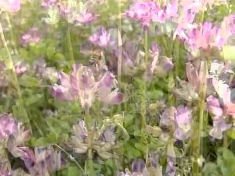 レンゲ畑のミツバチ