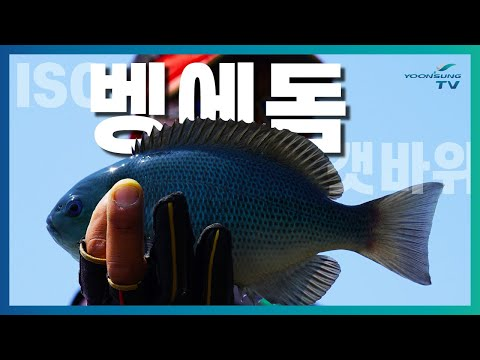 [벵에돔낚시] 통영 욕지도 갯바위 벵에돔 헌터!! feat....