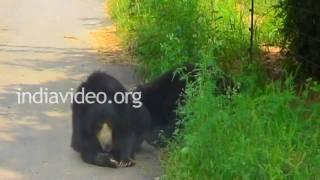 Bears at Bannerghatta National Park, Bangalore