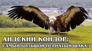 АНДСКИЙ КОНДОР: Самый большой пернатый падальщик отбирает добычу у пум | Интересные факты про птиц