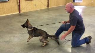 Tycho von Prufenpuden @ 7 Months German Shepherd Sable Protection Trained Home Raised