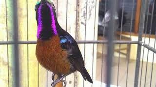 Langsung Nyaut!!! Masteran Burung Kolibri Ninja  Super Efektif Bikin Burung Kolibri Ninja  Gacor Dan