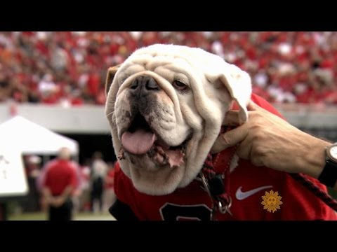 Meet University Of Georgia Mascot Uga The Bulldog
