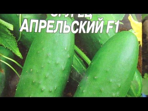 """Сорт огурца """"АПРЕЛЬСКИЙ"""""""
