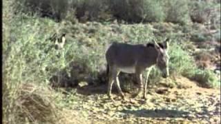 ARKive  African wild ass video  Equus africanus