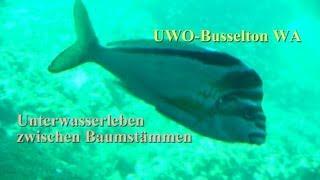 preview picture of video 'Busselton UWO - UW-Leben zwischen Baumstämmen'