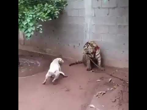 Bravest Dog Vs Tiger . REAL FIGHT !
