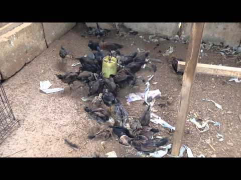 Video Anak Ayam Philipine