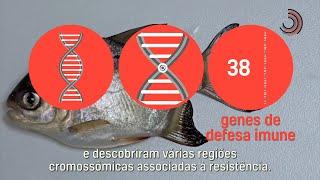 Ciência SP   Primeira linhagem de pacu geneticamente selecionada