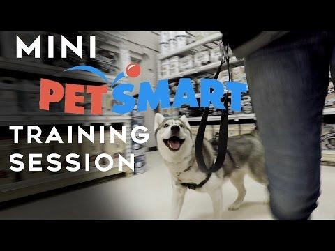 Mini Petsmart Training Session | Little Husky Voodoo