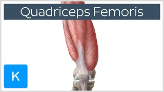 Quadriceps Femoris Muscle - Origin, Insertion and Function - Human Anatomy |Kenhub