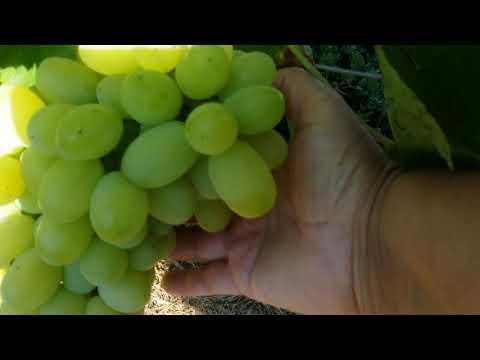 Как ускорить созревания винограда ))ОЧЕНЬ ЛЕГКО ))😁😀