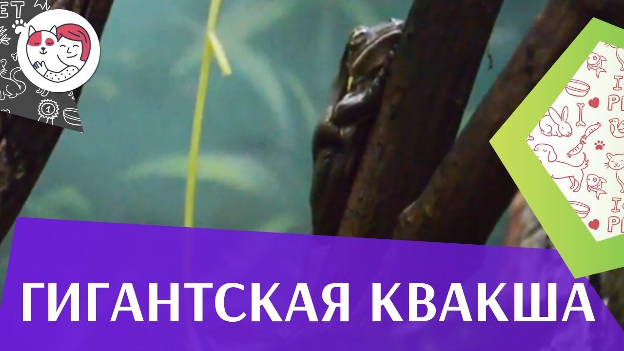 Гигантская квакша  Рацион питания на ilikepet