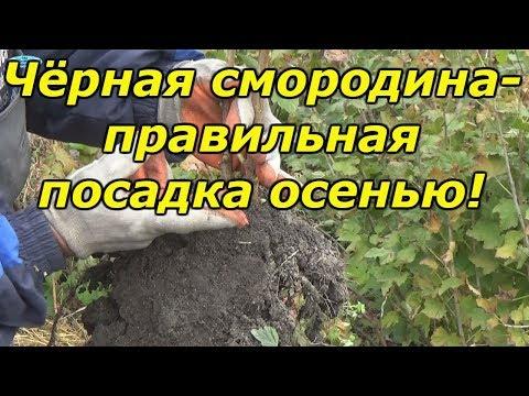 ЧЁРНАЯ СМОРОДИНА-ПРАВИЛЬНАЯ ПОСАДКА ОСЕНЬЮ!