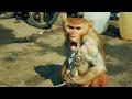 Bandar ka Khel | Baby Monkey Dance | Madaari aur Bandar ka naach | Bandar ka Tamasha | Street Show