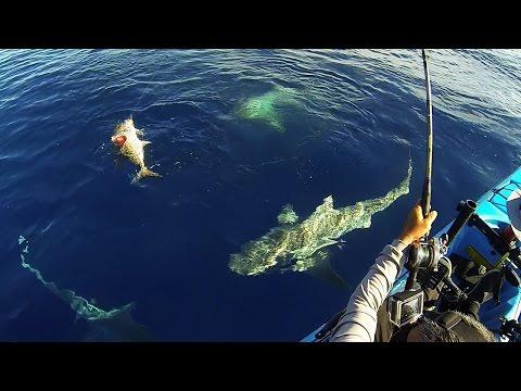 Kajakfisker bliver omringet af hajer midt på havet