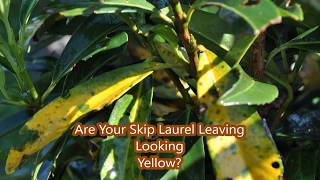 Skip Laurels     Some Leaves Turning Yellow