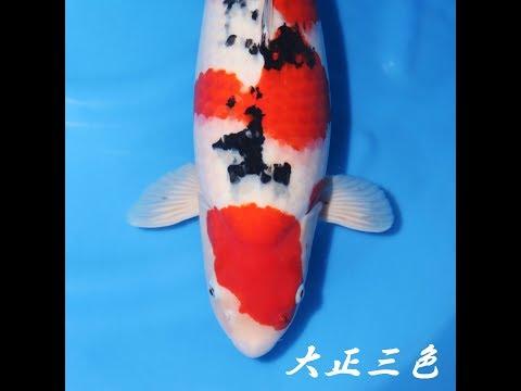 錦鯉/ 大正三色SP/仙助