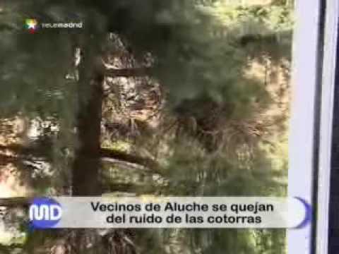 Madrid: Neozoen in Form von Sittichen