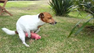 Jack Russell Dog Humps Pig