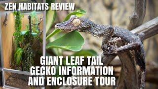 Meet My Giant Leaf Tail Geckos + Zen Habitat Enclosure Review! (Uroplatus Fimbriatus enclosure Tour)