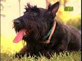 Scottish Terrier - Todo sobre el Scottish Terrier