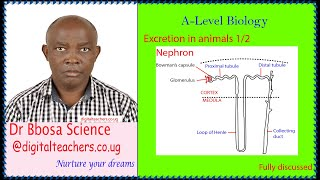 Excretion in man lesson 1of 2