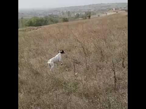 Bıldırıcın Av Videoları 13