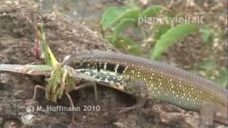 preview picture of video 'Regenbogenskink Trachylepis margaritifera frisst Gelbflügel-Wanderheuschrecke Gastrimargus spec.'
