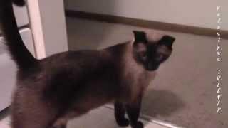 Самый добрый сиамский кот на свете :)