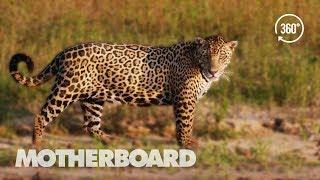 Brazil's Disappearing Wild Jaguars (360°)