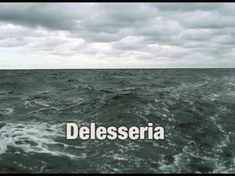 Rotalge Delesseria