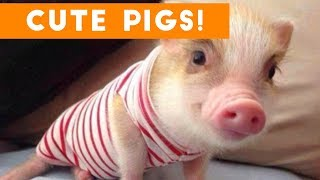 Cutest Pigs and Piglets of 2017 Weekly Compilation | Funny Pet Videos