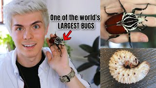 Unboxing a GIANT GOLIATH BEETLE + LARVAE