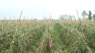Câu chuyện về một số nông sản rớt giá trong vụ đông xuân
