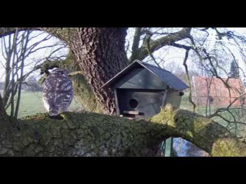 Male Lures Female into Nest Box - 23.03.17