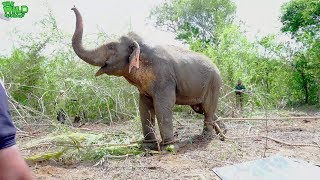 A beautiful Elephant who invaded a village gets a ticket back home ( Part1)