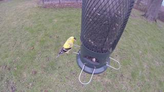 AMERICAN GOLDFINCHES Feeding -- 05/02/20