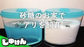 夏の自由研究「蟻の巣を全部砂糖にしたらどうなるの?」【飼育キット】【研究】