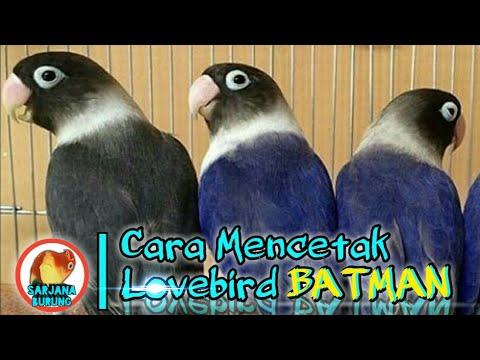 mp4 Lovebird Split Batman, download Lovebird Split Batman video klip Lovebird Split Batman