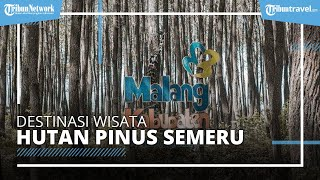 Hutan Pinus Semeru, Wisata Baru di Malang untuk Nikmati Liburan Akhir Pekan