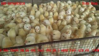 Thuốc úm gà con đơn giản chỉ với 150k ( áp dụng cho mọi loại gà )