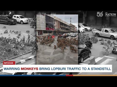 Vechtende troep apen brengen het verkeer in Thailand tot stilstand