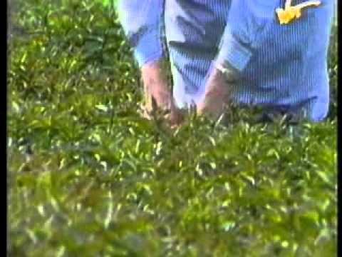 Wiąz kory z łuszczycą