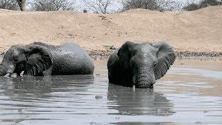 African Elephants take Mud Bath - Sheldrick Elephant Orphanage