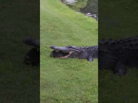 What happened when an Alligator tried to eat a Turtle
